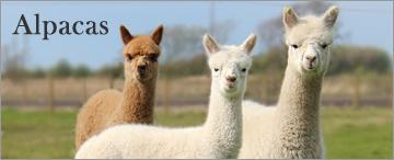 OBS_Alpacas